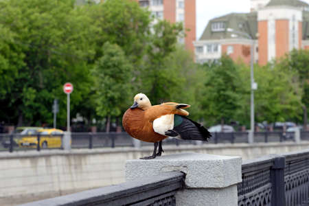 Wild duck Ruddy shelduck (Tadorna ferruginea) on the parapet of the embankment on the background of urban apartment buildings. Concept: birds, animals in the urban jungle