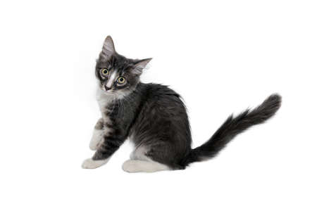 Cute little fluffy gray kitten is sitting on a white background, looking at camera. Portrait of a gray kitten Isolated on a white background