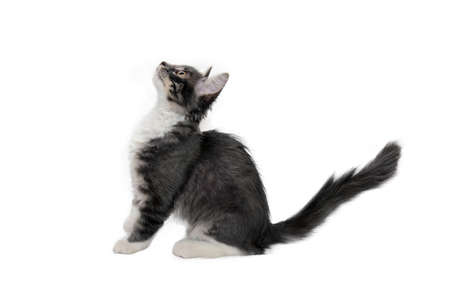 Cute little fluffy gray kitten is sitting on a white background, looking up. Portrait of a gray kitten Isolated on a white background