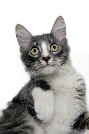 Portrait of cute little fluffy gray kitten on a white background, looking at camera. Gray kitten Isolated on a white background