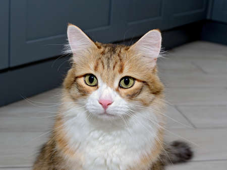 Portrait of a young red and white cat. A beautiful purebred cat looks into the camera. Close-up portrait of a domestic cat Standard-Bild