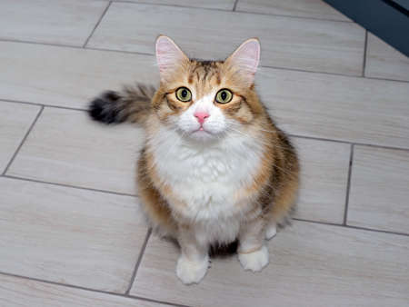 Portrait of a young red and white cat sitting on the floor. Beautiful purebred cat looking at the camera Standard-Bild