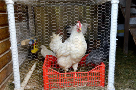 White chicken behind a net on a rustic home farm, white hen Standard-Bild