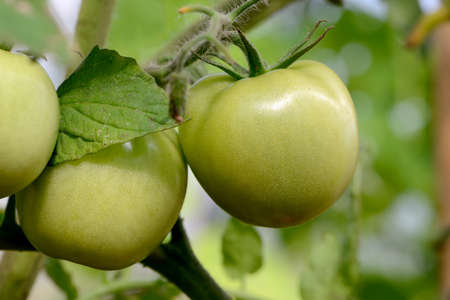 Small green tomatoes on a branch. Green tomatoes in a garden outdoors. Macro shooting Standard-Bild - 163157671