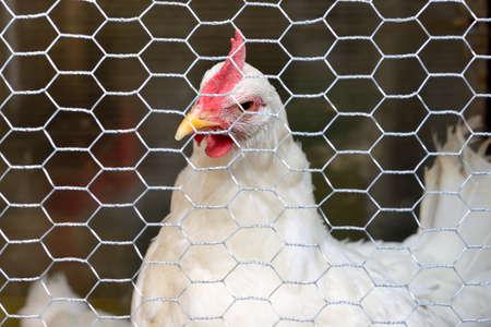 White chicken behind a net on a rustic home farm, white hen Standard-Bild - 163158076