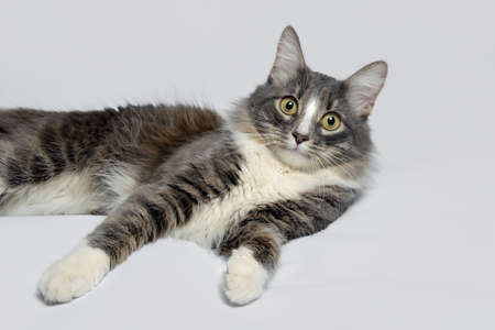 Young fluffy cat of a dark color with stripes on white Standard-Bild - 164230986