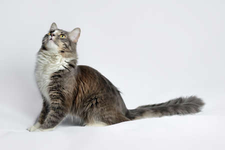 Young fluffy cat of a dark color with stripes on white Standard-Bild - 164230988