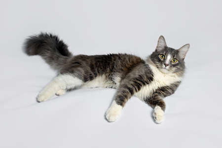 Young fluffy cat of a dark color with stripes on white