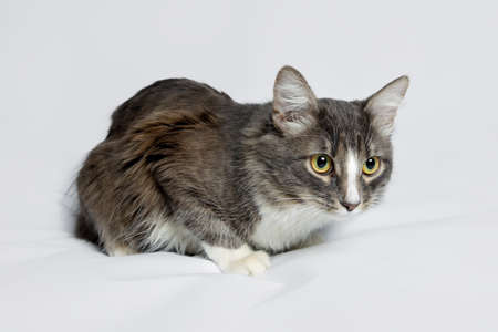 Young fluffy cat of a dark color with stripes on white Standard-Bild - 164230685