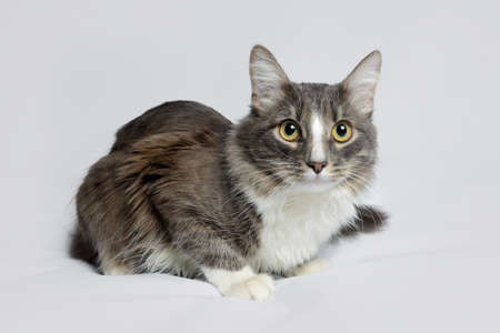 Young fluffy cat of a dark color with stripes on white Standard-Bild - 164230690