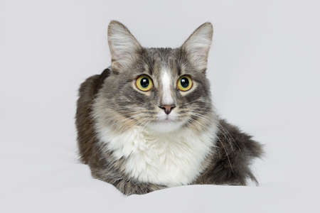 Young fluffy cat of a dark color with stripes lies on white