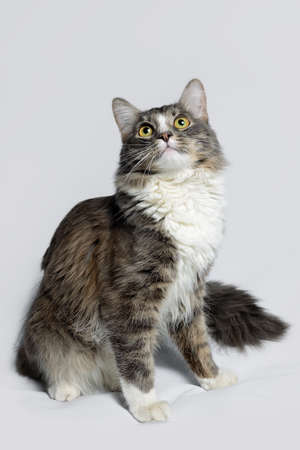 Young fluffy cat of a dark color with stripes on white Standard-Bild - 164230695