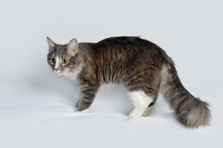 Young fluffy cat of a dark color with stripes on white Standard-Bild - 164230694