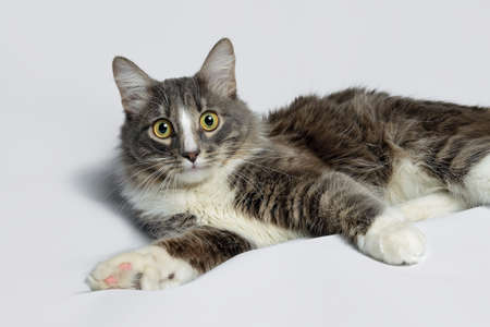 Young fluffy cat of a dark color with stripes on white Standard-Bild - 164230700