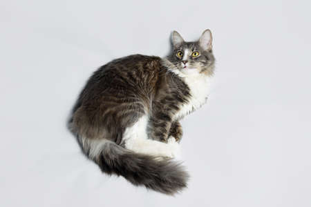 Young fluffy cat of a dark color with stripes on white Standard-Bild - 164230701