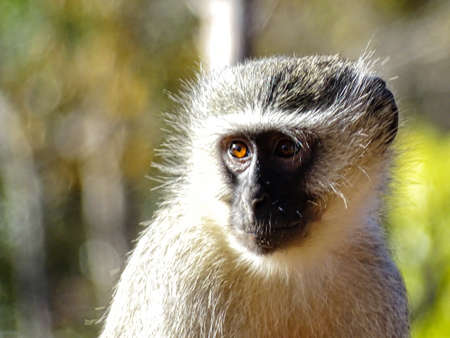 KRUGER NATIONAL PARK, SOUTH AFRICA - August , 2016. A Vervet monkey looks at the horizon