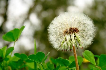dandelion seed head among clover Stock Photo - 13639736