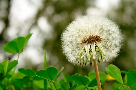 dandelion seed head among clover Stock Photo - 13639736