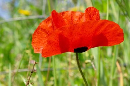 wet red poppy flower photo