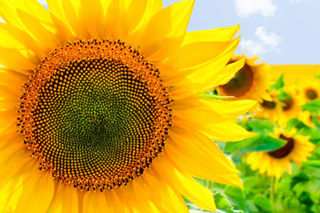 Sunflower in the summer sunny day