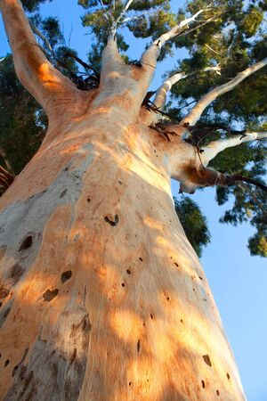 giant tree trunk rising up to blue sky Stock Photo - 12713709