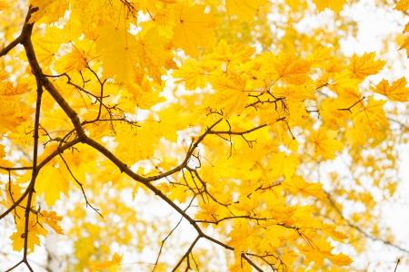 yellow autumn foliage at sunny day Stock Photo - 16239207