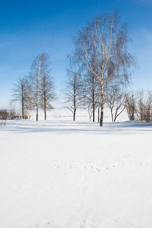 birches in snow field against dark blue sky in winter. Russia. copy space photo