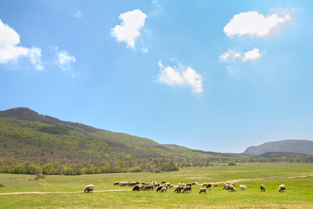 herd of sheep grazing on spring meadow at foot of mountains against sky with clouds