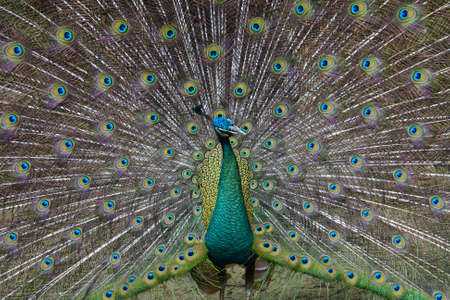 A strutting peacock