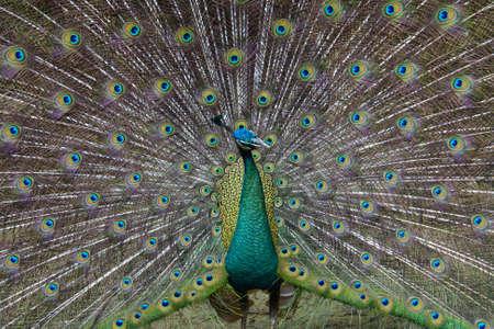 strut: A strutting peacock