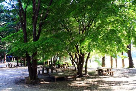 Majestic tree with benches underneath on Naminara island