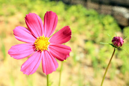 Cosmos flower in a meadow