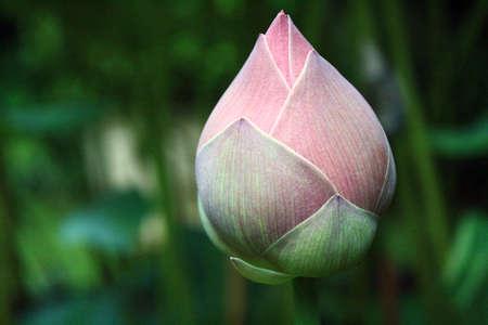 Lotus bud closeup background lotus leaves
