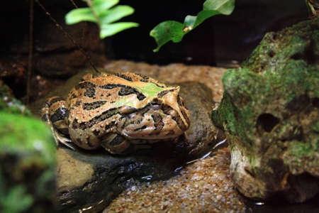 bullfrog in its natural habitat