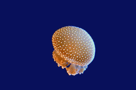 moving jellyfish Phyllorhiza punctata species