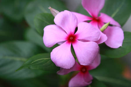 Pink Rosy Periwinkle Flowers (Catharanthus roseus) close up