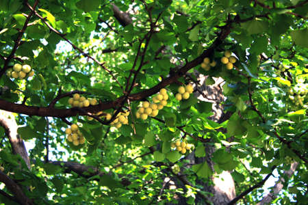 Gingko nuts on the tree in summer