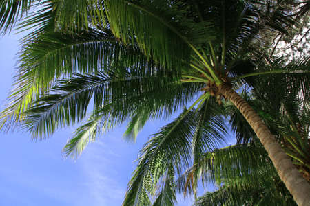 Coconut tree view from below sky as background