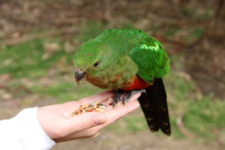 king parrot: Female King Parrot eating seeds from hand