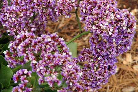 Oregano (Origanum vulgare) flower close-up