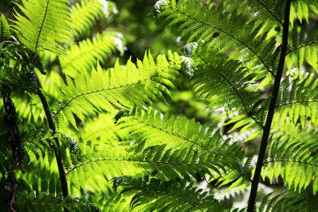 ferns: El sol brilla sobre las hojas del helecho en el rastro Maits Rainforest Rest, Great Otway National Park, Australia