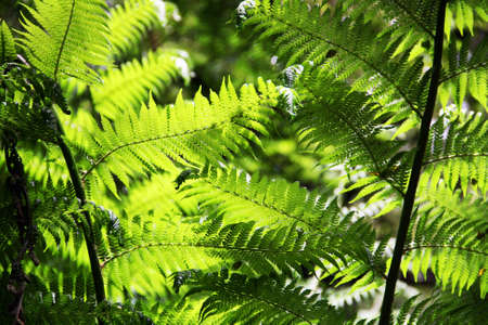 Sun shining on fern leaves at Maits Rest Rainforest Trail, Great Otway National Park, Australia photo