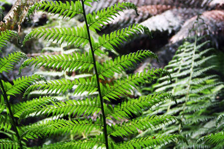 Fern leaves at Maits Rest Rainforest Trail, Great Otway National Park, Australia
