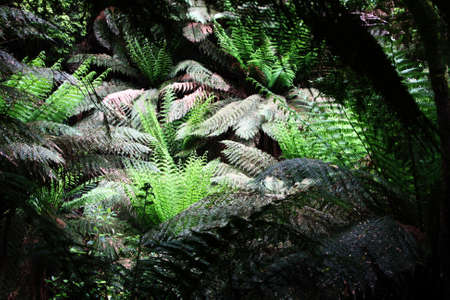 Fern trees at Maits Rest Rainforest Trail, Great Otway National Park, Australia