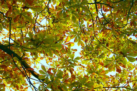 View of leaves turning yellow in autumn from below the tree