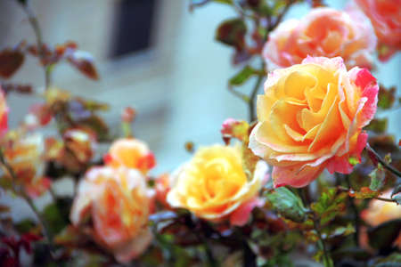 Roses outside by the window