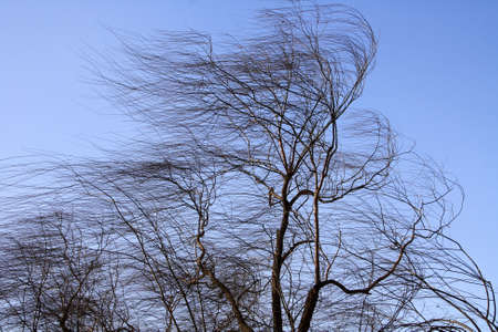 Leafless weeping willow in winter blown by the wind Stock Photo