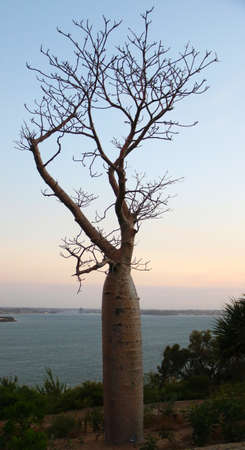 Silhouette of Baobab or Boab tree with sunset at background