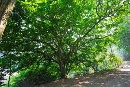 Majestic tree with many branches by hill slope Stock Photo