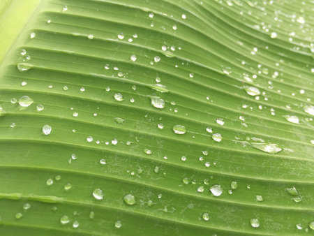 Raindrops on a banana leaf Stock Photo